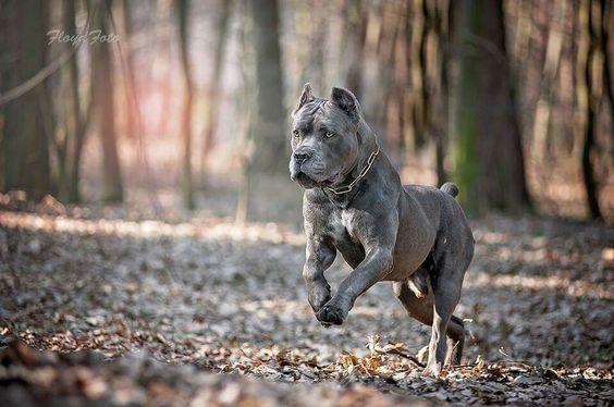 Il Cane Corso Conosciamo Le Razze Conosco Il Cane